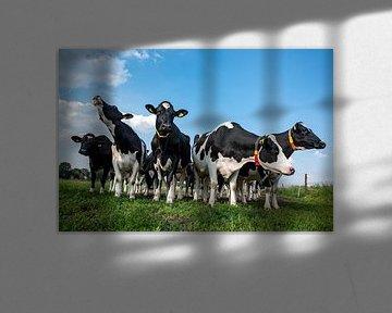 nieuwsgierige koeien in de wei van John Linders
