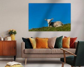 Texel lammetje geniet van de zon van Texel360Fotografie Richard Heerschap