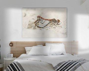 Steinroter Heidelibel - Vagabundierende Schlangenhalsvogel - Fülldatum des Sympetrums von Rick Willemsen