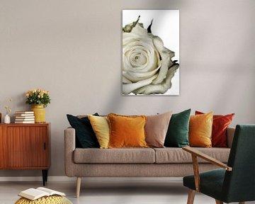 Bild einer weißen Rose. von Therese Brals