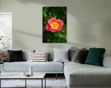 Rosenblüte von Thomas Jäger