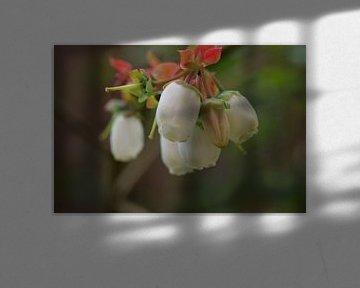 Fleurs de myrtilles blanches