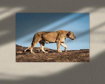 Leeuw in Masai Mara National Park van Nick Chesnaye