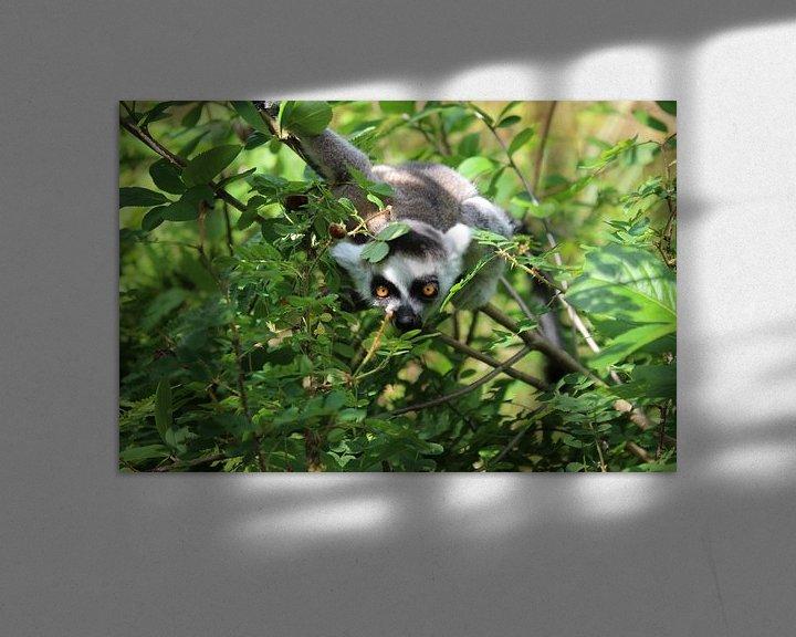 Beispiel: Ringelschwanzlemur von DVT Photography