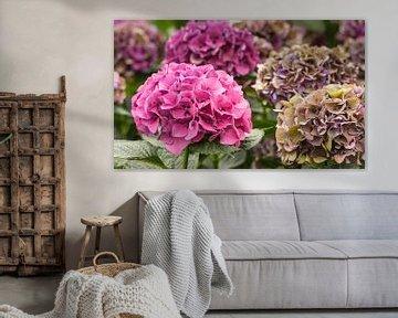 Bunte Hortensienblüten in einer Hortensien-Gärtnerei von Ruud Morijn