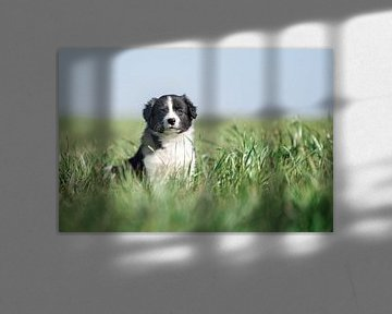 Friese Stabij puppy in het hoge gras. van Mariëtte Plat