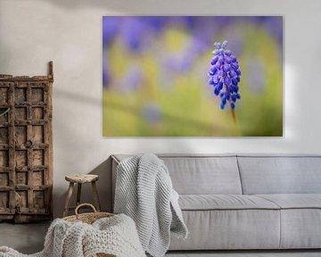 Blaue Traube (Muscari Armeniacum) von Carola Schellekens