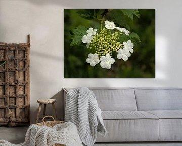 witte bloemen van een gelderse roos van Kristof Lauwers