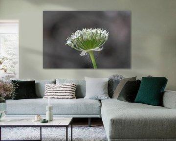 weiße Zierzwiebel von Tania Perneel