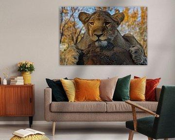 Ein junger Löwe in Simbabwe, Afrika von Nico  Calandra