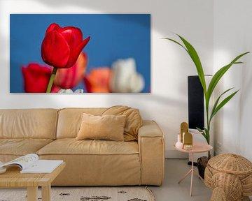 Rote Tulpe - isoliert, aber nicht allein von Ed Steenhoek