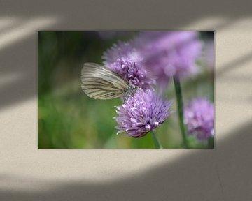Schmetterling auf Schnittlauch von Eveline De Brabandere