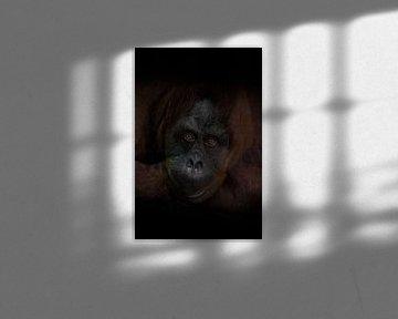 Der aufmerksame Blick eines intelligenten rothaarigen Orang-Utans, der dunkle Hintergrund ist ein we von Michael Semenov