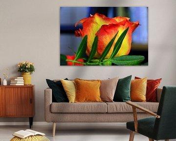 Rot-gelbe Rose von Jolanda Kars