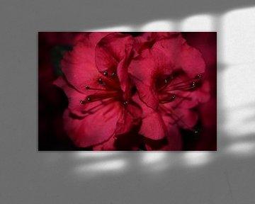 Fuchsia azalea bloemen van Breezy Photography and Design