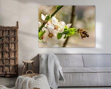 Honigbiene und Mirabellblüte von Hans-Jürgen Janda