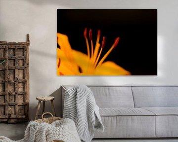 Orange Topflilien von Michael Fousert