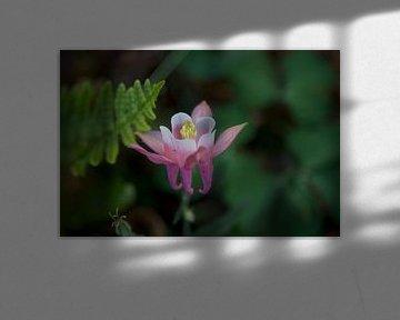Akelei Aquilegia caerulea-Blüte (Akelei Aquilegia caerulea) von Roberto Zea Groenland-Vogels