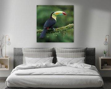 Keel-billed toucan (CR) van Paul van der Zwan