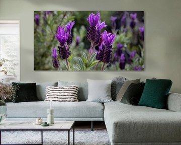 Vlinder lavendel van MPhotographer