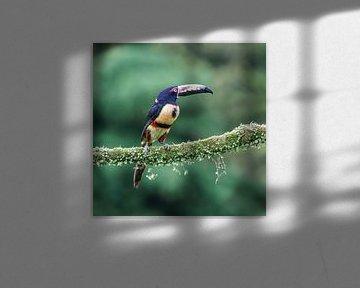 Collared Araçari (CR)