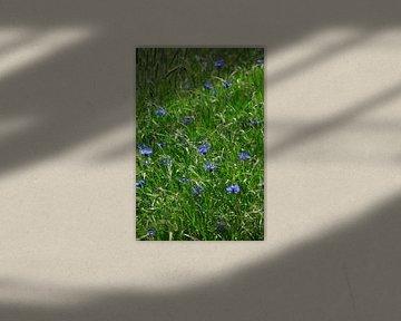 Kornblumen von Thomas Jäger