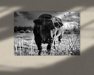 Koe op de weide