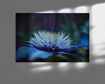 Stralende verdroomde blauwe Clematis