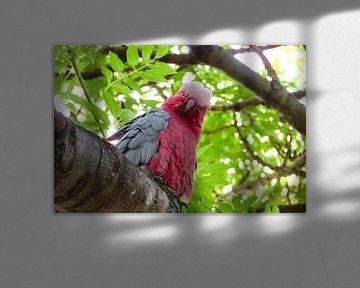 Rosa Kakadu Australien von Daan de Boer