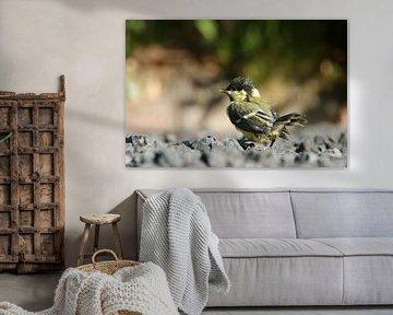 Junge Kohlmeise zum ersten Mal aus dem Nest von Jeroen van Deel