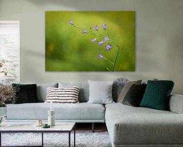 Grasuhr (Campanula rotundifolia) von Carola Schellekens