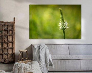 Weiße Orchidee, (wilde Orchidee) von Carola Schellekens