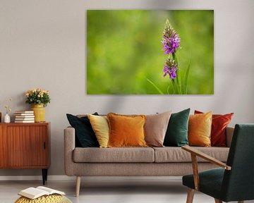 Gefleckte Orchidee (Dactylorhiza maculata), wildwachsende Orchidee von Carola Schellekens