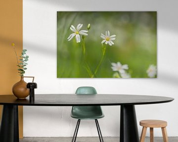 Große Mauer (Stellaria holostea) von Carola Schellekens