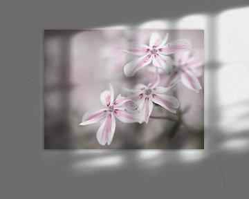Tere rosa weiße Blüten von Bianca Muntinga