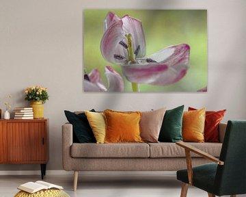 Offene rosa-weiße Tulpe von Bianca Muntinga