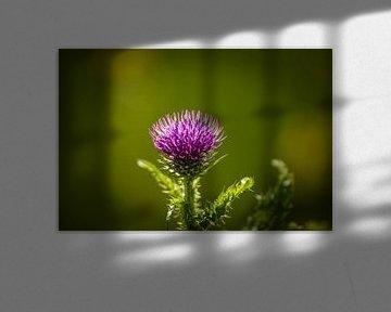 Blühende Distel von Tony Buijse