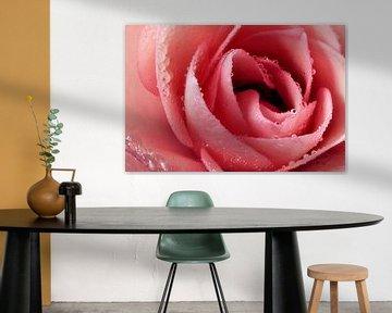 Le cœur de la rose