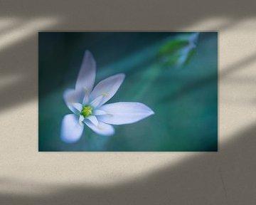 Bärlauch Blüte von Carolin Cohrs