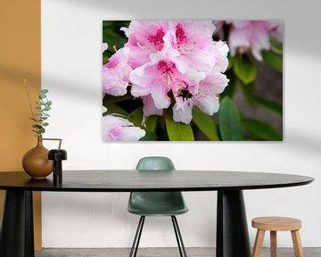 rhododendron van Eva Overbeeke
