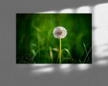 Common Dandelion von Urban Photo Lab
