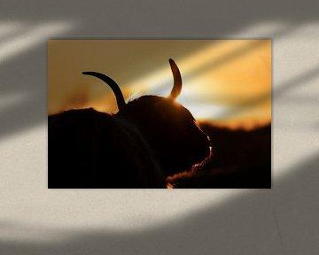 Schottische Highlander mit Sonnenuntergang von Glenn Vlekke