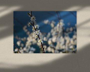 Blüte von Nederland op Foto