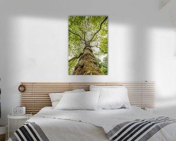 Plataan boom in lente van Frans Lemmens