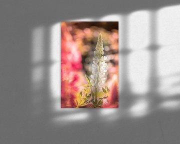 Lupinenblüte von Jeroen Mikkers