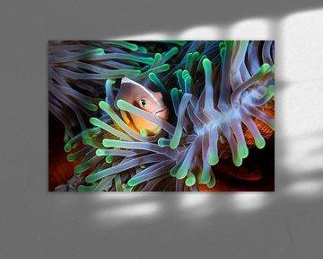 Clownfish, Barathieu Gabriel van 1x