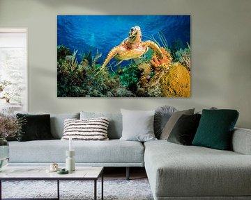 Echte Karettschildkröte Schwimmen durch Karibik Riff, Jan Abadschieff von 1x