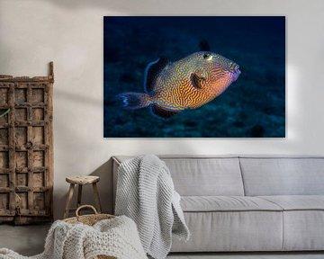 Blue triggerfish, Barathieu Gabriel van 1x
