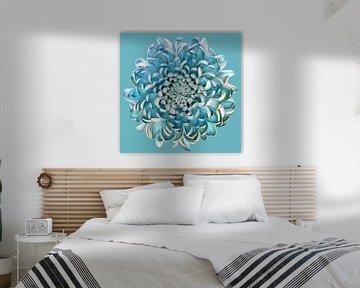 Blue Chrysanth, Brian Haslam van 1x
