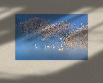 Blau Schwanensee, Hua Zhu von 1x